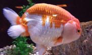 观赏鱼用水需要注意什么