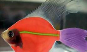 基因鱼越来越漂亮(图)
