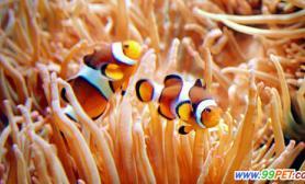 """鼓浪屿上演真实版《海底总动员》可爱小丑鱼""""领衔主演""""(图)"""