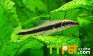 食藻鱼可以抑制藻类生长