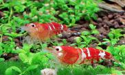 水晶虾繁殖生育点点滴滴(图)