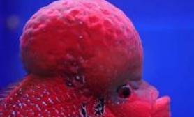 如何分辨罗汉鱼公母