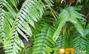 蜈蚣草的正确栽种方法