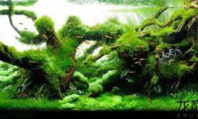 水草缸丝藻