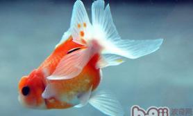 金鱼在立春至春分时节的饲养