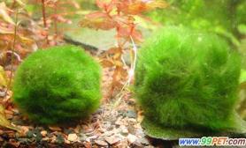 生物科绿球藻的基本信息(图)
