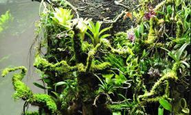 水族箱造景亚马逊植物进缸状态记录
