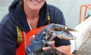将灭绝的稀有蓝色龙虾(多图)