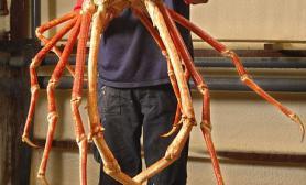 英国最大螃蟹亮相脚长3.5米仍然在生长