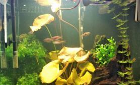 水草造景我的睡莲和珍珠鼠水草缸欢迎欣赏指导