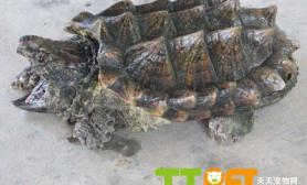 鳄鱼龟能吃吗问答鳄鱼龟怎么吃问答