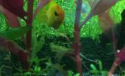 鱼缸造景金波子产卵