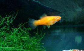 红箭鱼的外形特点与生活习性(图)