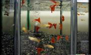 孔雀鱼纵谈:母鱼生产与护理之受孕(多图)