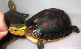 黄缘闭壳龟冬眠方法与注意事项
