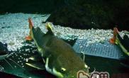 红尾鲶鱼的饲养要点