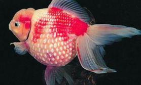 杭州是世界金鱼的发祥地(图)
