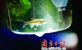 南海茶山溪中小鱼确为唐鱼(图)