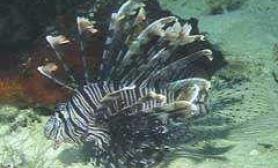 美丽的狮子鱼(图)