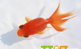 金鱼尾巴为什么有血丝什么原因
