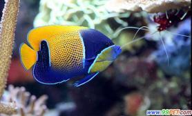 鱼类也分左撇子或右撇子(图)