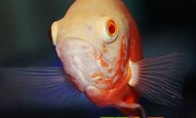 哪些食物适合喂养地图鱼