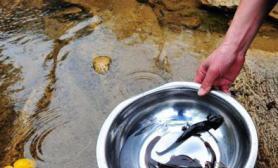 广东乳源深山发现濒危两栖动物野生娃娃鱼(多图)