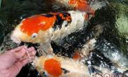 人工培养鱼虫的注意事项