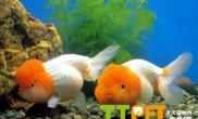 锦鲤和金鱼能混养吗