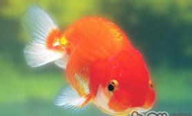 观赏鱼勤换水真的好吗