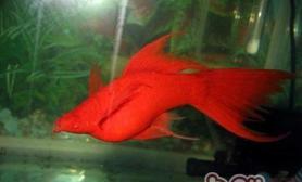 红剑鱼的品种简介