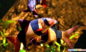 观赏鱼疾病治疗如何让它们吃到足够的药量(图)