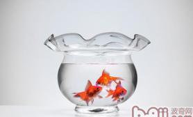 金鱼饲养时的水位要求