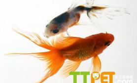 疑问金鱼能和孔雀鱼一起养吗