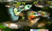 孔雀鱼的饲料与喂养(图)