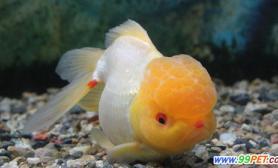 金鱼的饲养技术(图)