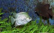 咸淡水两宜的金鼓鱼(图)