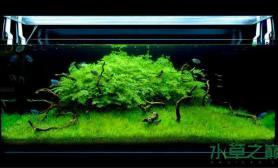 水族箱造景绿色云