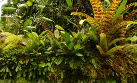 植物原生境(Orchidaceae)—Stelis 微柱兰属