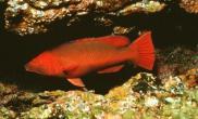 红龙鱼大概有哪四种扬色(图)