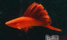 红剑鱼的外形特点