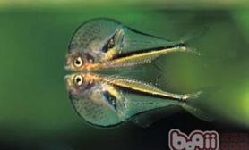 霓虹燕子鱼的繁殖事项