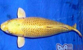 黄金锦鲤的饲养环境