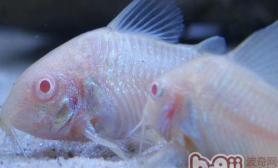 老鼠鱼饲养过程中的注意事项