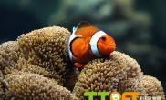 小丑鱼怎么挑选如何选购小丑鱼