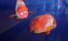 双冠丽鱼与红魔鱼杂交的血鹦鹉(图)