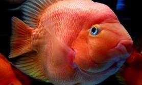 鹦鹉鱼有哪些品种类型(图)