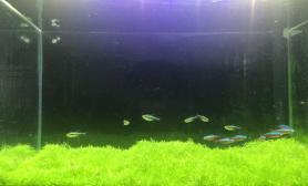庆祝欧洲杯水草缸来一张办公室挖耳草坪水草缸清新怡人鱼缸水族箱(附开缸及一个月照片)