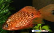 淡水观赏鱼鲤科-玫瑰鲫鱼(图)