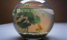 挑选金鱼的六大注意事项
